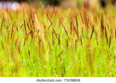 brown grass on green grass background with selective focus