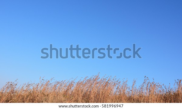 Brown grasses drifting in blue sky in autumn/winter.