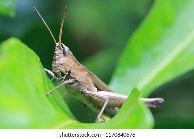 Brown grasshopper and green leaf