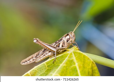Brown grasshopper in nature, Migratory Bird Locust or Brown Spotted Locust (Cyrtacanthacris tatarica)