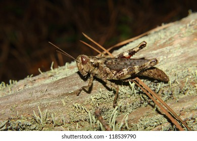 A brown grasshopper on a mossy log