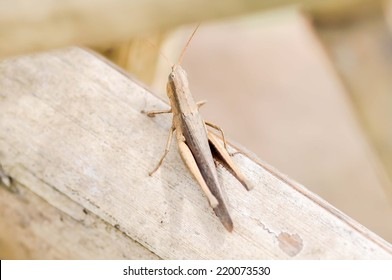 brown grasshopper  on the wood