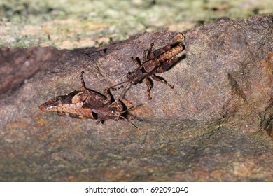 Brown grasshoppers, Acrididae mating in habitat.