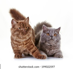 brown and gray british long hair kittens on a white background, 4 month old