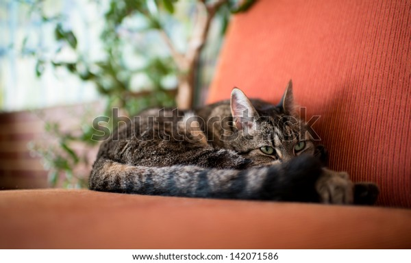 Brown and Gray Tabby Cat Relaxing Inside on Vintage Red Chair
