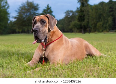 Brown Great Dane purebred laying on the grass with trees behind