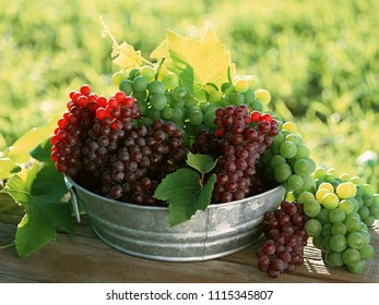 brown and green bunches of grapes in a metal bowl on a vineyard background