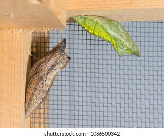 A brown and a green morph of Eastern Black Swallowtail butterfly chrysalis