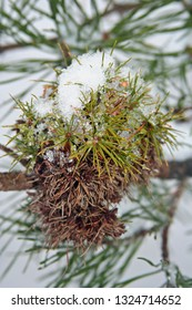 brown and green pine needles in snow