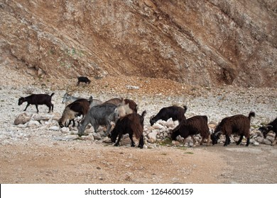 brown grey and white goats eating grass and grassroots in rocky terrain in a mountain in south albania. in llogara . vlore albania. albanian goat breeds