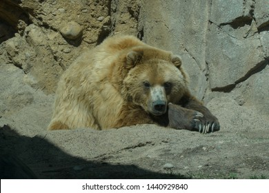 A brown grizzly bear lays down in the warm summer sun outside next to rock structure to sleep. Zoo and safari tourist attraction