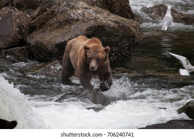 Brown grizzly bear at a river hunting and eating salmon in Alaska