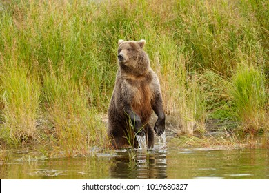 A brown or grizzly bear in the water. Katmai National Park, Alaska.