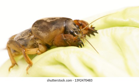 Brown Gryllotalpidae eats cabbage leaf. Dangerous pest for the roots of cultivated plants. Also serves as bait for fish