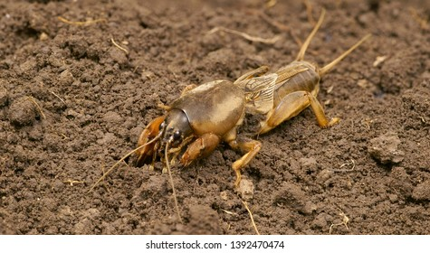 Brown Gryllotalpidae on the ground. Dangerous pest for the roots of cultivated plants. Also serves as bait for fish