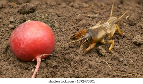 Brown Gryllotalpidae on the ground, is going to eat radish. Dangerous pest for the roots of cultivated plants. Also serves as bait for fish