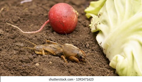 Brown Gryllotalpidae on the ground, is going to eat radish and cabbage leaf. Dangerous pest for the roots of cultivated plants. Also serves as bait for fish