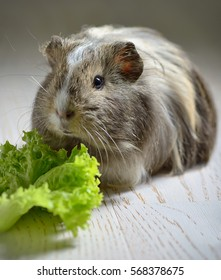 brown guinea pig and salad leaf