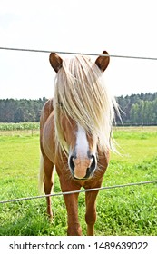 A brown Haflinger with a long blond mane, which hangs over the eyes of the horse, stands on a green pasture - a beautiful horse in a pasture in Germany