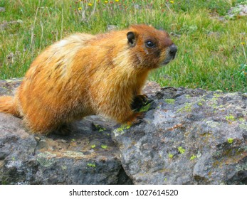 brown hair rodent