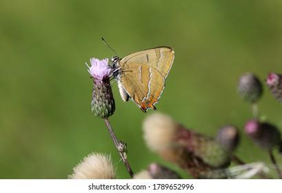 Brown hairstreak on a flower