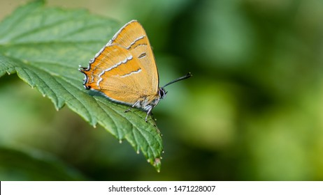 The Brown Hairstreak (Thecla betulae) is a beautiful small butterfly here found on a blackcurrant leaf with a nice defocused background. The male Brown Hairstreak is normally in the top of the trees.