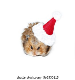 Brown hamster in the cap of Santa Claus isolated on white background