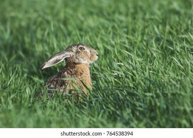 Brown Hare, Lepus europaeus, adult in meadow, National Park Lake Neusiedl, Burgenland, Austria, April