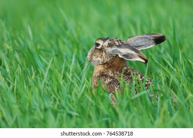 Brown Hare, Lepus europaeus, adult in meadow eating, National Park Lake Neusiedl, Burgenland, Austria, April