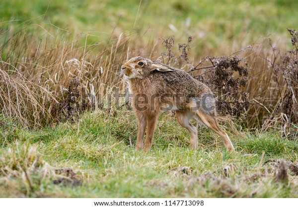 Brown Hare - Lepus europaeus. stretching