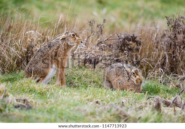 Brown Hare - Lepus europaeus. Two Hare resting in field