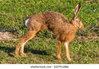 Brown hare in the neighbourhood