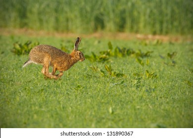 Brown hare running for cover