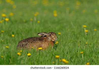 Brown hare sitting in the meadow and eat, spring, germany, (lepus capensis)