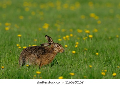 Brown hare sitting in the meadow, spring, germany, (lepus capensis)