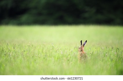 Brown hare, Yorkshire Dales