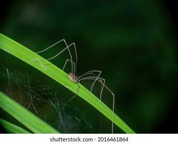 Brown harvestman, Phalangium opilio arachnid on grass.