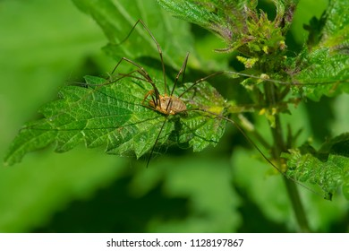 Brown Harvestman resting on a leaf waiting to ambush an unwary insect. Also known as a Daddy Long Legs. High Park, Toronto, Ontario, Canada.