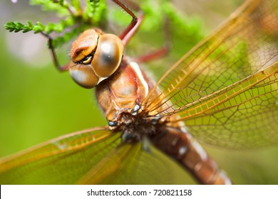 Brown hawker sitting on a plant