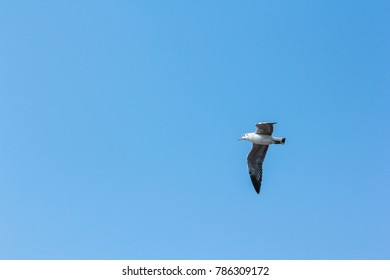 Brown headed Gull with blue sky.