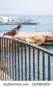Brown healthy Pigeon On black Railing looking at sea in Sliema Malta. copy space, sea view as a background. Calm sunny bright day on summer end.