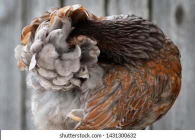 Brown hen hides his head in her feathers