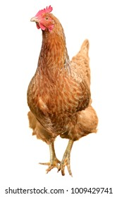 Brown hen isolated on white background.