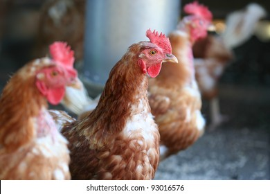 Brown hens with focus on middle hen