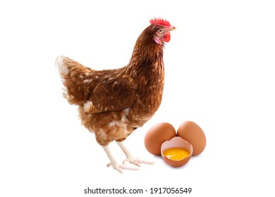 Brown hens isolated on white background, Laying hens farmers concept.