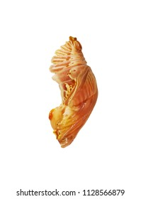 A brown hibernating pupa of the Chinese windmill butterfly, Atrophaneura or Byasa alcinous, is isolated on white background. Pupae is a stage between caterpillars and butterflies. Half-face view