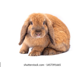 Brown holland lop rabbit isolated on white background. Lovely young holland lop rabbit.