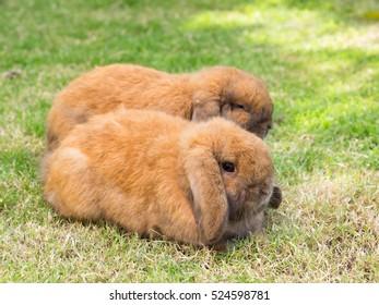 brown holland lop rabbit on green grass