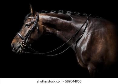 Ein braunes Holstein-Pferd mit Brille auf schwarzem Hintergrund im Studio