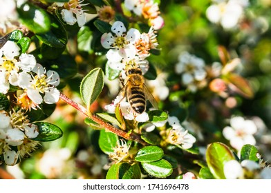 Brown honey bee sitting on a shrub with white flowers on a sunny day.